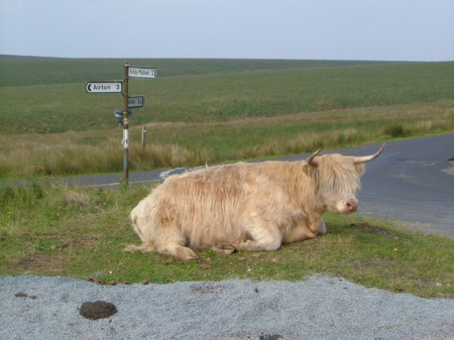 Highland cow sitting near the road.