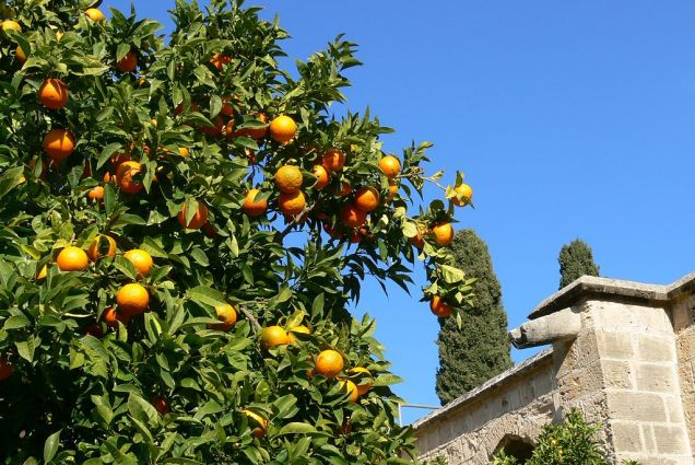 Orange Tree near the Monastery in Bellapais