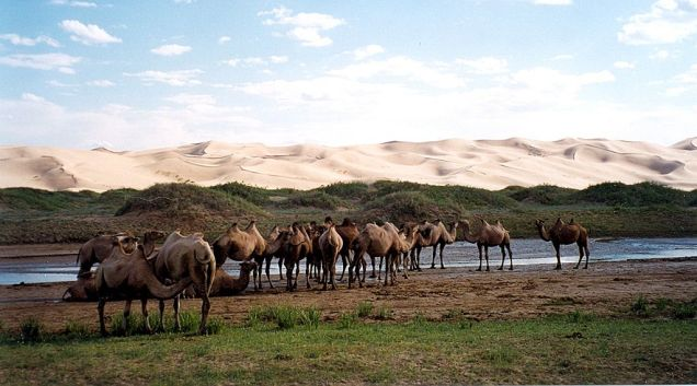Dromedary camels by the sand dunes of Khongoryn Els, Gobi Gurvansaikhan National Park, Ömnögovi Province, Mongolia
